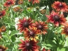 cherry-brandy-rudbeckia