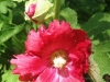 red-hollyhock